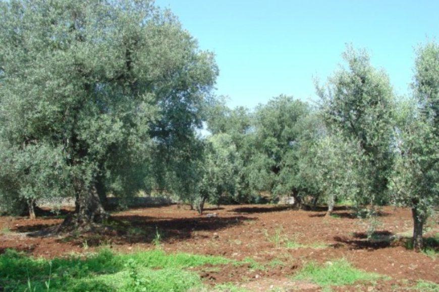 Vendita terreno – Contrada Genovese, Valle D'Itria – Alto Salento, Ceglie Messapica (Brindisi)