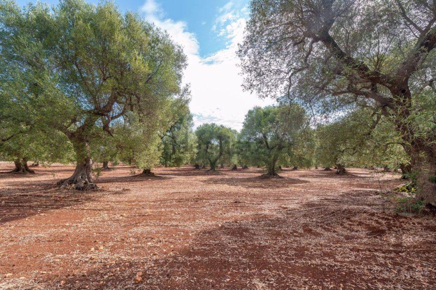 Vendita Masserie – Contrada Montefocaro Piccolo, Valle D'Itria , Ceglie Messapica (Brindisi)