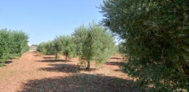 Vendita terreno – Contrada Monte Marcuccio, Ceglie Messapica (Brindisi)