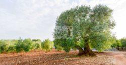 Vendita masseria – Contrada Lamarina, Ceglie Messapica (Brindisi)