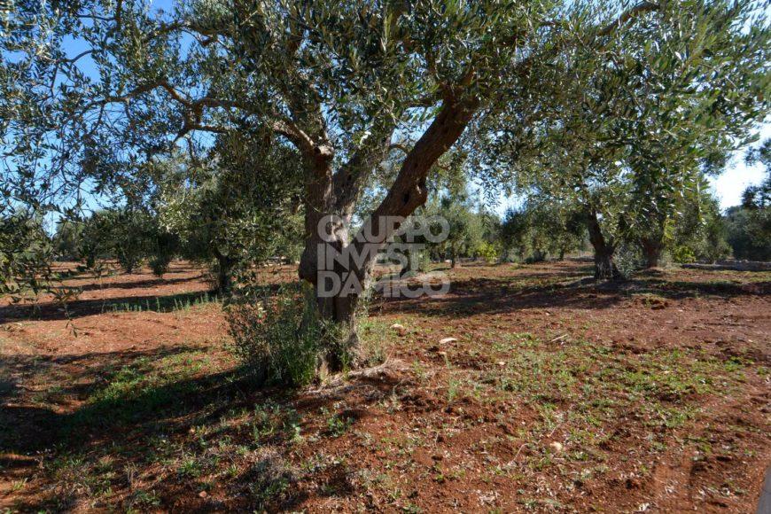 Vendita trulli abitabili – Contrada Boccadoro, Ostuni (Brindisi)