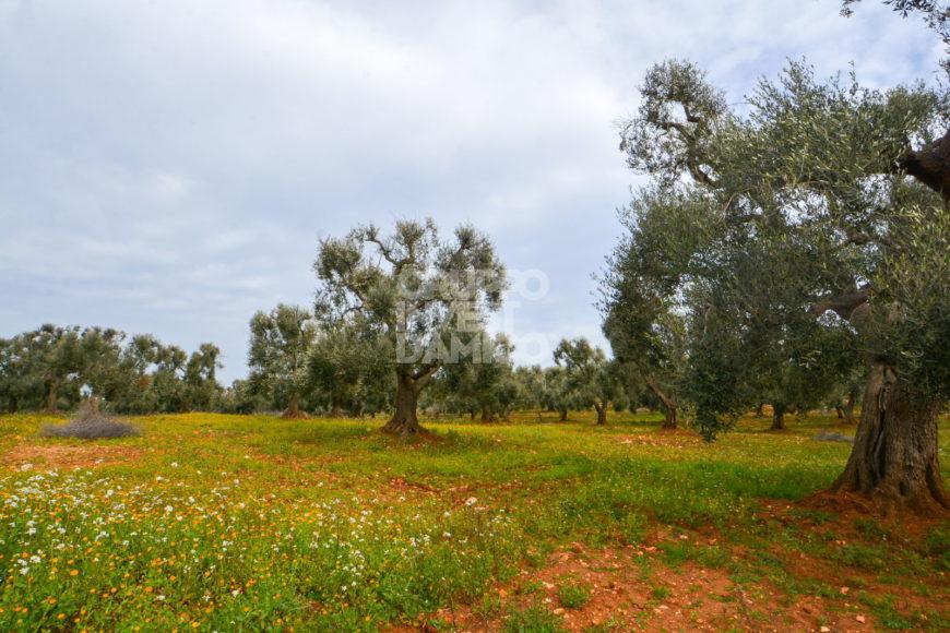 Vendita trulli e lamie rustici – Contrada Natalicchio, Ceglie Messapica (Brindisi)