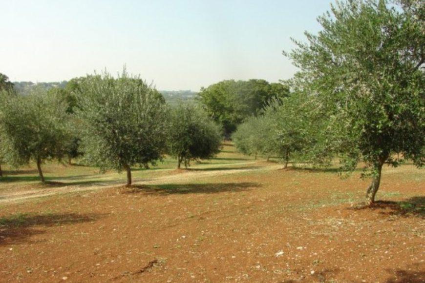 Vendita terreno – Contrada Satia, Valle D'Itria – Alto Salento, Ostuni (Brindisi)