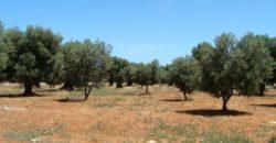 Vendita Trulli e lamie rustici – Contrada San Lorenzo, Ostuni (Brindisi)