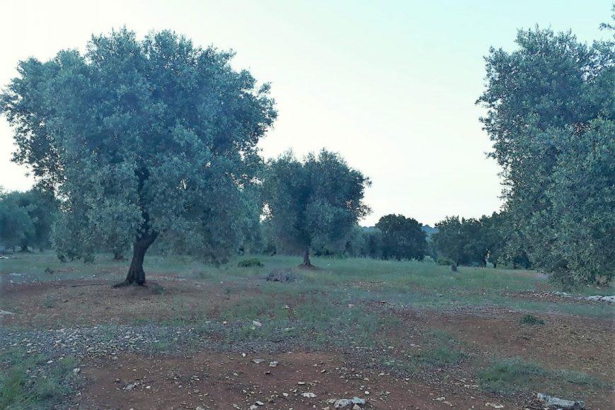 Vendita terreno – Contrada Selvaggi, Valle D'Itria – Alto Salento, Ceglie Messapica (Brindisi)